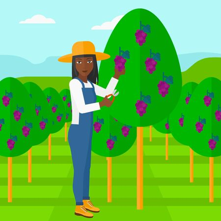 fruit tree: An african-american woman harvesting grapes in vineyard vector flat design illustration. Square layout.