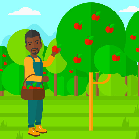 collecting: An african-american man holding a basket and collecting apples in fruit garden vector flat design illustration. Square layout. Illustration