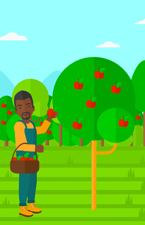An african-american man holding a basket and collecting apples in fruit garden vector flat design illustration. Vertical layout.
