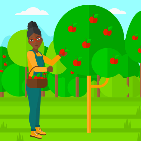 picking fruit: An african-american woman holding a basket and collecting apples in fruit garden vector flat design illustration. Square layout. Illustration