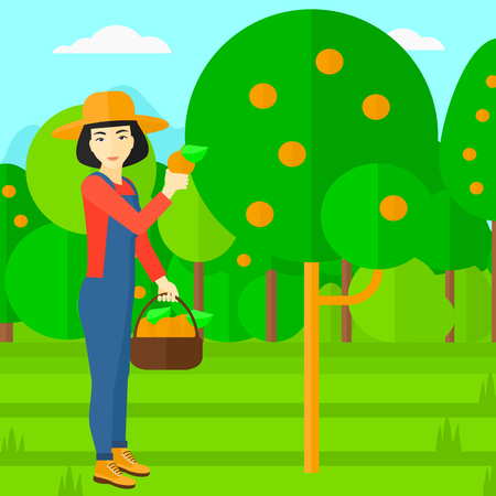 collecting: An asian woman holding a basket and collecting oranges vector flat design illustration. Square layout.