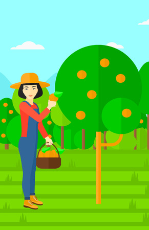 collecting: An asian woman holding a basket and collecting oranges vector flat design illustration. Vertical layout. Illustration