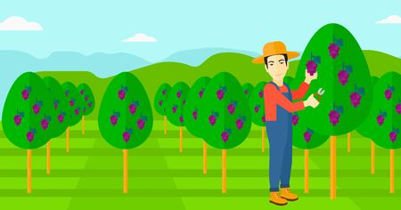 grape fruit: An asian man harvesting grapes in vineyard vector flat design illustration. Horizontal layout.