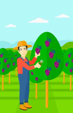 grape fruit: An asian man harvesting grapes in vineyard vector flat design illustration. Vertical layout. Illustration