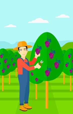 albero da frutto: Un asiatico uve uomo raccolta in design piatto illustrazione vigna vettoriale. il layout verticale.