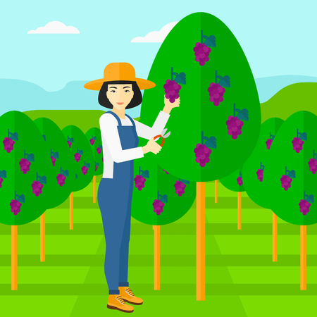 harvesting: An asian woman harvesting grapes in vineyard vector flat design illustration. Square layout. Illustration