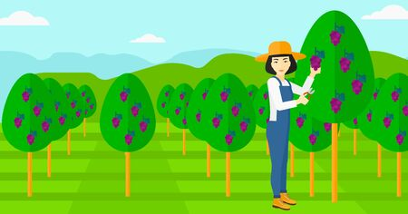 tree fruit: An asian woman harvesting grapes in vineyard vector flat design illustration. Horizontal layout.