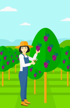 arboles frutales: Un asi�tico cosecha de las uvas en la vi�a mujer ilustraci�n vectorial dise�o plano. disposici�n vertical.