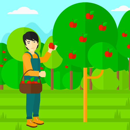 picking fruit: An asian man holding a basket and collecting apples in fruit garden vector flat design illustration. Square layout.