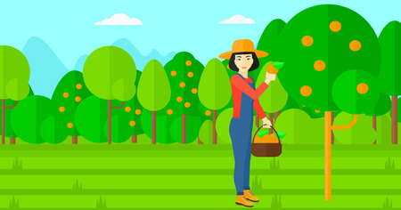 collecting: An asian woman holding a basket and collecting oranges vector flat design illustration. Horizontal layout.