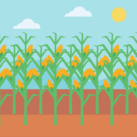 corn field: Background of corn field vector flat design illustration. Square layout.