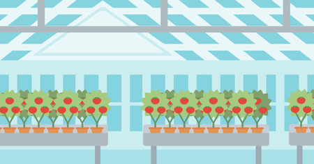 greenhouse: Background of tomatoes in the greenhouse vector flat design illustration. Horizontal layout.