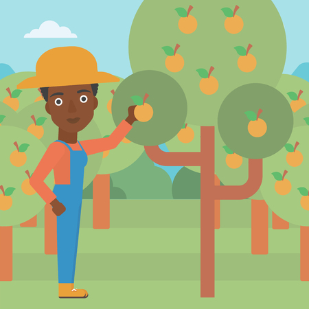 collecting: An african-american woman collecting oranges vector flat design illustration. Square layout.