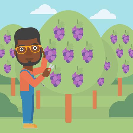 harvesting: An african-american man harvesting grapes in vineyard vector flat design illustration. Square layout. Illustration