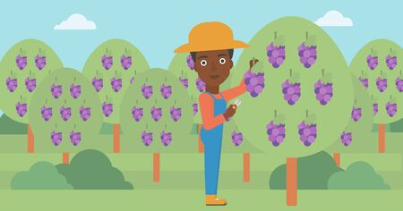An african-american woman harvesting grapes in vineyard vector flat design illustration. Horizontal layout. Illustration