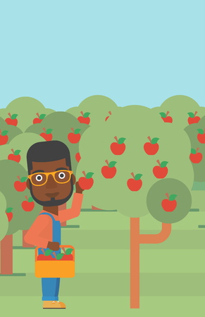 vertical garden: An african-american man holding a basket and collecting apples in fruit garden vector flat design illustration. Vertical layout.