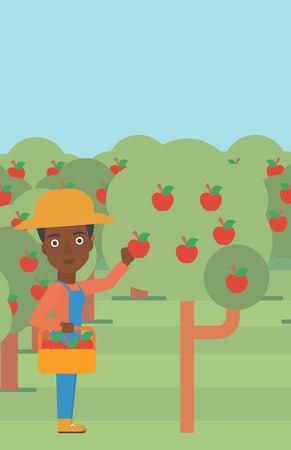 An african-american woman holding a basket and collecting apples in fruit garden vector flat design illustration. Vertical layout.