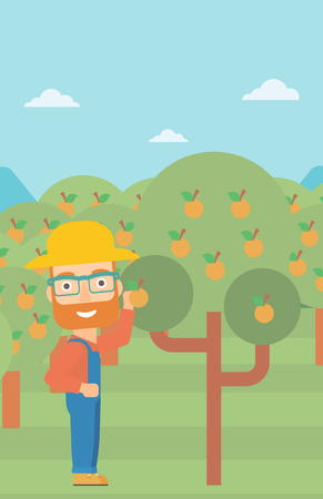 picking fruit: A hipster man with the beard collecting oranges vector flat design illustration. Vertical layout. Illustration
