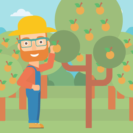 tangerine: A hipster man with the beard collecting oranges vector flat design illustration. Square layout.