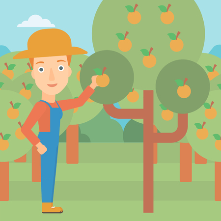 collecting: A woman collecting oranges vector flat design illustration. Square layout. Illustration
