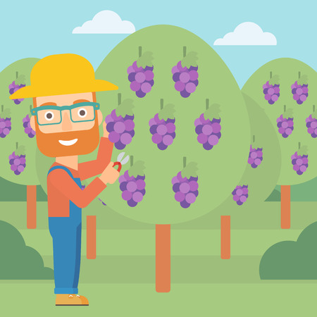 A hipster man with the beard harvesting grapes in vineyard vector flat design illustration. Square layout.