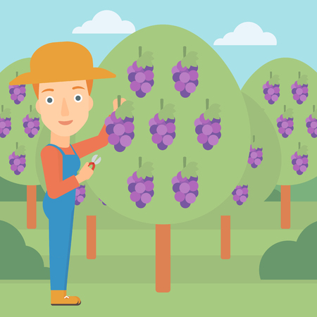 harvesting: A woman harvesting grapes in vineyard vector flat design illustration. Square layout.