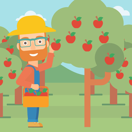 collecting: A hipster man with the beard holding a basket and collecting apples in fruit garden vector flat design illustration. Square layout.
