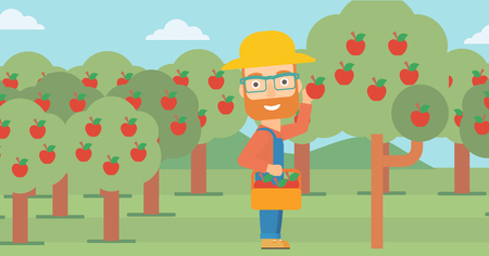 collecting: A hipster man with the beard holding a basket and collecting apples in fruit garden vector flat design illustration. Horizontal layout. Illustration