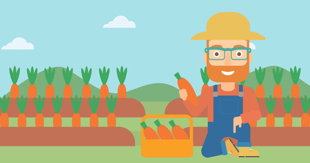 collecting: A hipster man with the beard collecting carrots in basket on the background of field vector flat design illustration. Horizontal layout.