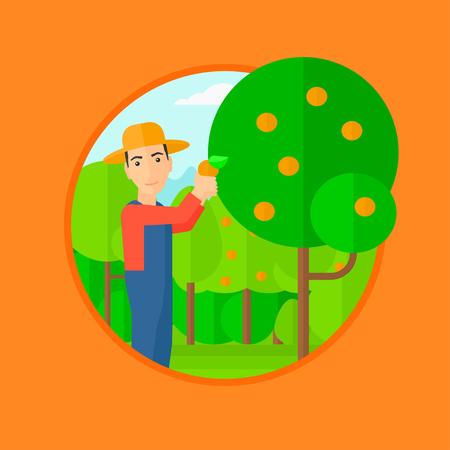harvesting: A man harvesting oranges. Vector flat design illustration in the circle isolated on orange background.