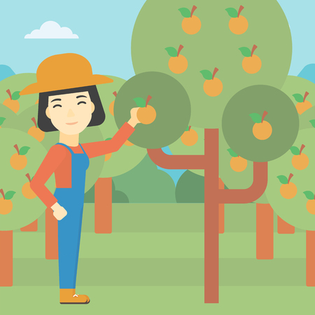collecting: An asian female farmer collecting oranges. Young farmer working in orange garden. Vector flat design illustration. Square layout.