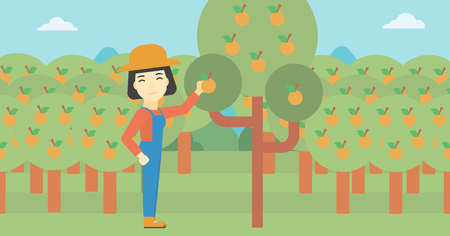 An asian female farmer collecting oranges. Young farmer working in orange garden. Vector flat design illustration. Horizontal layout.