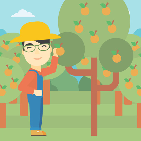 asian farmer: An asian farmer collecting oranges. Young farmer working in orange garden. Vector flat design illustration. Square layout.