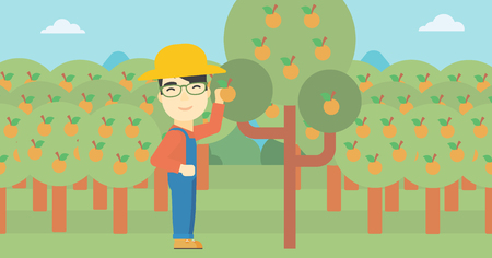 asian farmer: An asian farmer collecting oranges. Young farmer working in orange garden. Vector flat design illustration. Horizontal layout. Illustration