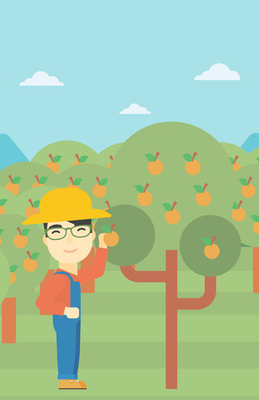 asian farmer: An asian farmer collecting oranges. Young farmer working in orange garden. Vector flat design illustration. Vertical layout. Illustration