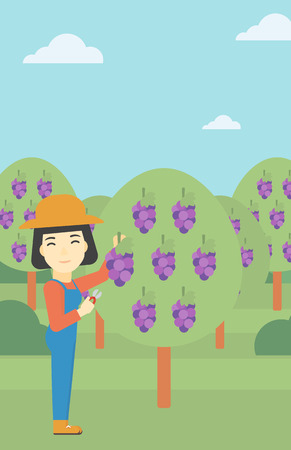 collecting: An asian female farmer harvesting grapes in vineyard. Farmer collecting grapes. Young farmer working in vineyard. Vector flat design illustration. Vertical layout.