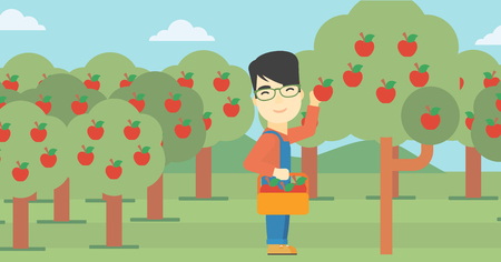 asian farmer: An asian farmer holding a basket and collecting apples in fruit garden. Farmer collecting apples. Vector flat design illustration. Horizontal layout.