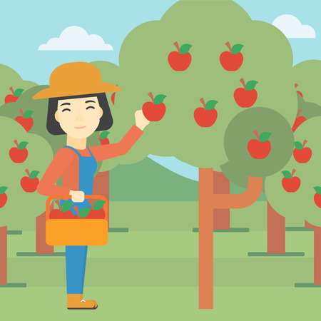 asian gardening: An asian female farmer holding a basket and collecting apples in fruit garden. Farmer collecting apples. Vector flat design illustration. Square layout.
