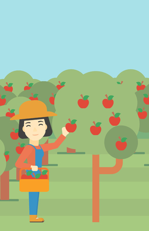 asian gardening: An asian female farmer holding a basket and collecting apples in fruit garden. Farmer collecting apples. Vector flat design illustration. Vertical layout.