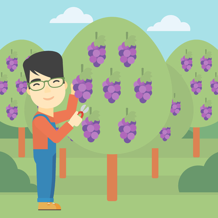 asian farmer: An asian farmer harvesting grapes in vineyard. Farmer collecting grapes. Young farmer working in vineyard. Vector flat design illustration. Square layout.