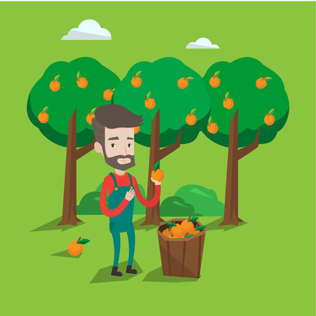 A happy farmer holding an orange on the background of orange trees. A hipster farmer with the beard collecting oranges. Gardener standing near basket full with oranges. Vector flat design illustration. Square layout. Illustration