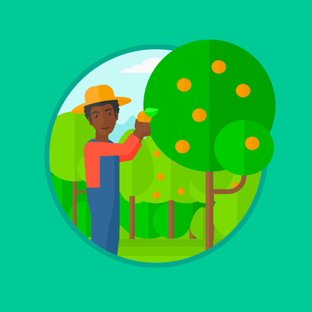 collecting: African-american man harvesting oranges. Gardener holding an orange on the background of orange trees. Farmer collecting oranges. Vector flat design illustration in the circle isolated on background. Illustration