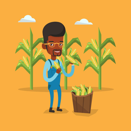 corn field: An african-american farmer holding a corn cob on the background of corn field. Farmer collecting corn. Farmer standing near basket full with corn. Vector flat design illustration. Square layout. Illustration