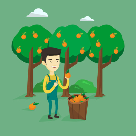 Farmer collecting oranges vector illustration. Illustration