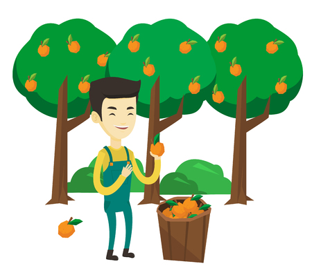 Asian gardener collecting oranges. Gardener holding orange on the background of orange trees. Gardener standing near basket with oranges. Vector flat design illustration isolated on white background.