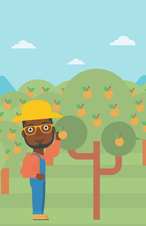 An african-american man collecting oranges vector flat design illustration. Vertical layout.