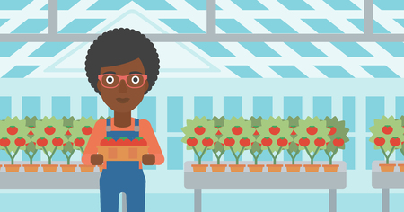 An african-american woman holding a box with tomatoes on the background of greenhouse vector flat design illustration. Horizontal layout.