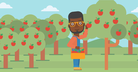An african-american man holding a basket and collecting apples in fruit garden vector flat design illustration. Horizontal layout.