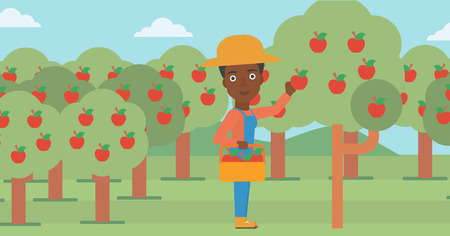 An african-american woman holding a basket and collecting apples in fruit garden vector flat design illustration. Horizontal layout.