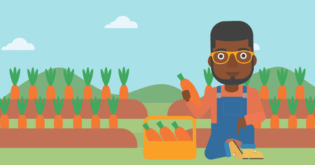 An african-american man collecting carrots in basket on the background of field vector flat design illustration. Horizontal layout.